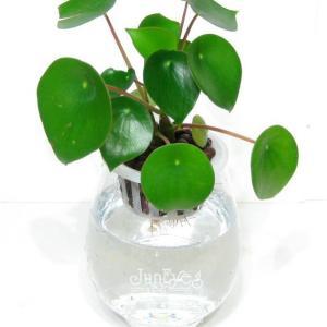 荷叶椒草  - 绿手指(GFinger)百科