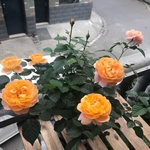 月季-果汁阳台