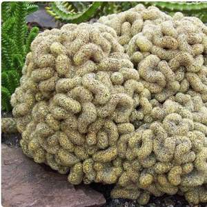 I Nuevo agregado un Mammillaria Elongata cris tata monstrosus/ cerebro en mi jardín