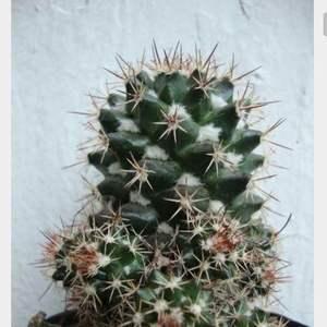 I Nuevo agregado un Mammillaria volumen sis en mi jardín