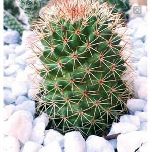 I Nuevo agregado un Mammillaria sino sísmica en mi jardín