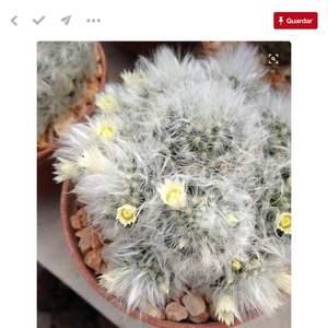 I Nuevo agregado un Mammillaria albicona/diente de león en mi jardín