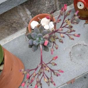 Echeveria Haagai 紫立殿