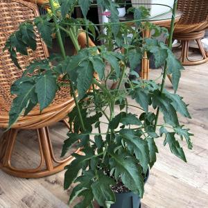 小番茄长得真快,可是为什么只开花不结果呢?