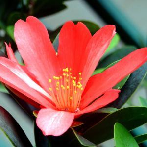 名称: #杜鹃红山茶               英文名称:Camellia azalea  别名:杜鹃叶山茶、杜鹃茶、四季茶、杜鹃叶山茶、假大头茶 科: #山茶科   属: #山茶属   植株清秀别致,叶片浓绿而低调,而鲜红的花朵绽放时,整棵植株都瞬间被点亮,就好似夜空中绚丽的花火,连星星都为之暗淡失色了。如此珍贵又靓丽的山茶品种,无论是在园林中还是作为盆栽观赏,都是不可多得的佳品。
