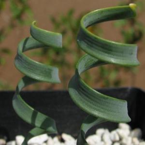 """名称:  #卷叶垂筒花   别名:卷叶垂筒花 火烧百合  英文名:Cyrtanthus smithiae  科:  #石蒜科   属:  #垂筒花属   市场价格:  #中档   介绍: 卷叶垂筒花(Cyrtanthus smithiae)也称之为火烧百合,是石蒜科 (Amaryllidaceae)植物,在南非境內有超过五十个火烧百合的品种。Cyrtanthus [sar-'tan-thus]属名来自希腊文:""""kyrtos""""是代表弯曲筒狀物,""""anthos""""意指花。属名意思恰意指弯曲筒狀形的花!中文名""""火烧百合""""取自此属通俗名称""""Fire Lily"""",因为不少品种往往在山林大火后才盛开。在原产地,种球通常生長在大石間,性喜陽光、清涼环境。该植物为夏型种,白色或粉白色的花朵,与百合花极为相似。  卷叶垂筒花与宽叶弹簧草不是同一种植物,宽叶弹簧草的学名是Ornithogalum concordianum"""
