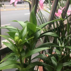 盛放期 自然枯萎的花都有十几朵了