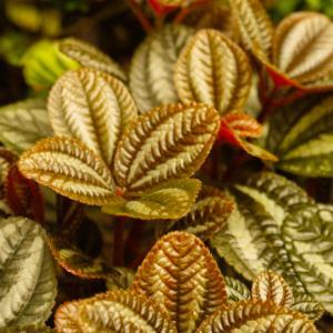 Norfolk friendship plant