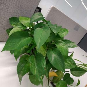 绿萝是一种会给你即时反馈的植物,好好饲养它,总会给你积极向上的形态