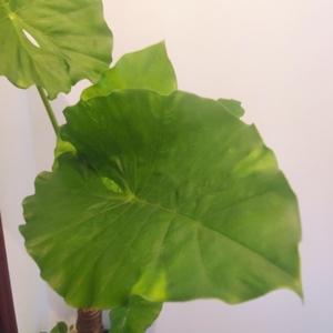 叶子越来越大啦 移到楼梯间了 最近的花园风里想有热带雨林的感jio