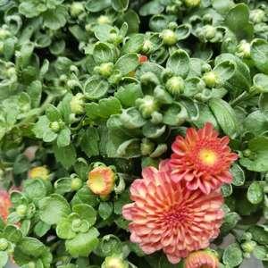 """我新添加了一棵""""糖果菊混色    阳台上的新伙伴    带着很多花苞来啦     今年秋天也有花花看了""""到我的""""花园"""""""