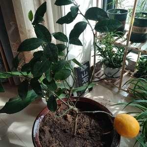 """我新添加了一棵""""柠檬树""""到我的""""花园"""""""