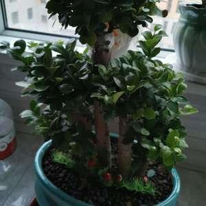 """我新添加了一棵""""榕树""""到我的""""花园"""""""