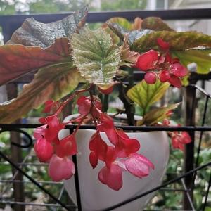 斑叶竹节秋海棠