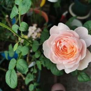 女王的花还是很鲜嫩但是越开越小,希望今年强剪后明年开大一些