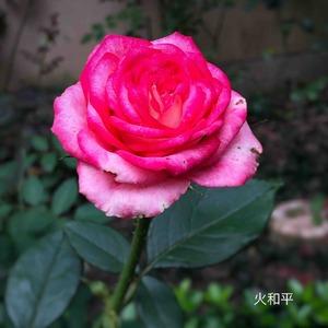 盆栽后开的第一朵花,有点小。