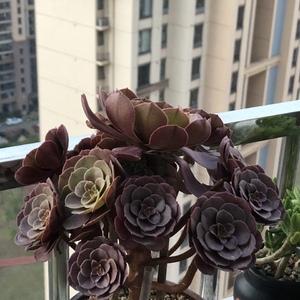 万圣节 (11.9)多肉植物