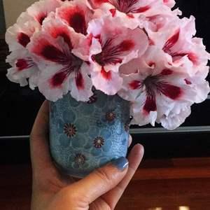 天竺葵剪下切花