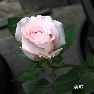 美咲还是很勤花的,花也同样仙气十足。