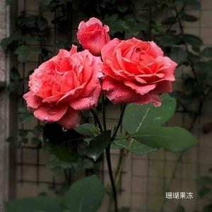 今年一根粗笋上几朵花,颜色很鲜艳。