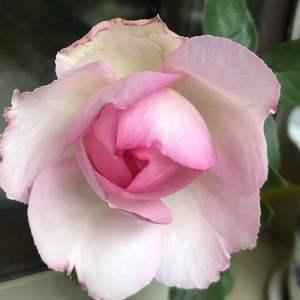 伊芙--贵族香水