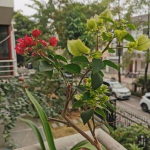 三角梅1-绿樱