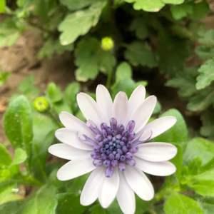 """我新添加了一棵""""蓝目菊""""到我的""""花园"""""""