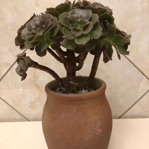 韶羞 (16)多肉植物