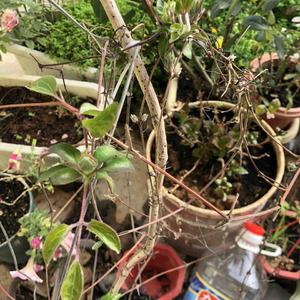 这个👆🏻老铁终于迎来了春天啊!结满了🌸苞!