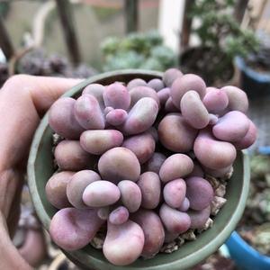 桃蛋小群(5)小宝多肉