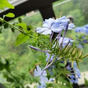 开花啦开花啦   太爱蓝雪花了   不生病花开得多花期还长    颜色也那么清丽