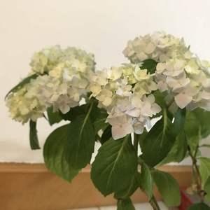 繁花锦簇,花朵不大,但是很多,太重了很多枝条都立不住。这一盆从去年休眠养到现在,期间没有生过任何病虫害,每一个枝头都有花头,开成这样一簇簇的,粉的,紫的,蓝的,棒极了!