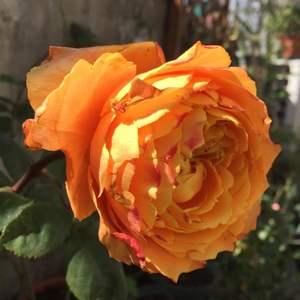 """我新添加了一棵""""月季·浪漫橙色""""到我的""""花园"""""""