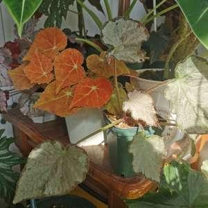蟆叶秋海棠在我家长得竟然还不错