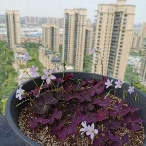 紫叶酢桨草