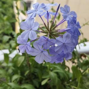 """我新添加了一棵""""蓝雪花""""到我的""""花园"""""""