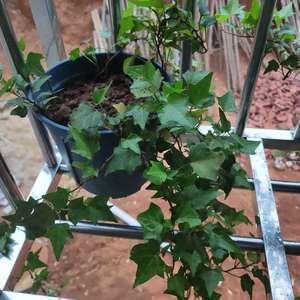 生长的土质太好,又被蚂蚁家族盯上,只好大盆换小盆