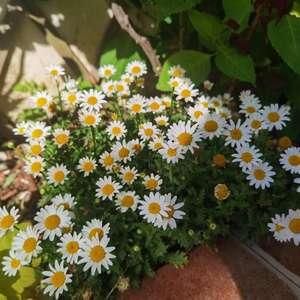 """我新添加了一棵""""小雏菊""""到我的""""花园"""""""