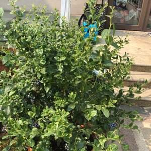 """我新添加了一棵""""蓝莓""""到我的""""花园"""""""