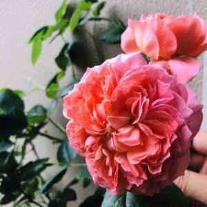 今年夏日花火一盆有十几朵花,肥没跟上,导致花不是很大,然后全部剪了,就留了两朵花,所以后面两朵开得比较大。