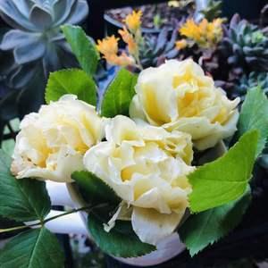 去年冬天家里的月季都发了强笋,今年金丝雀开花很多,开了一串。