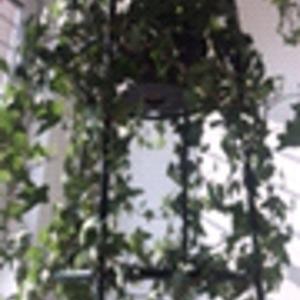常春藤花架,之前潜叶蝇肆虐都以为救不回来了,没想到还这么坚挺