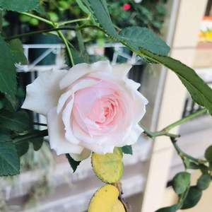 今年新入了4盆月季。美咲已经开了3朵。乔治有好多花苞,已经开了3朵。微蓝还是花苞。诗人的妻子开了一朵。