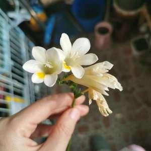 花挺可爱的也不少,花的香味有点像小时候山上植物的味道,挺清新的,但是也不能说特别香,株型比小苍兰好很多,但还是不适合小阳台,明年都不会种了