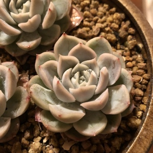 雪球1(7)多肉植物