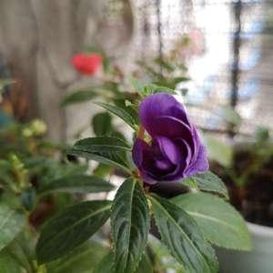 第一朵紫罗兰色