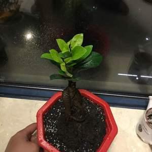 """我新添加了一棵""""小榕树""""到我的""""花园"""""""