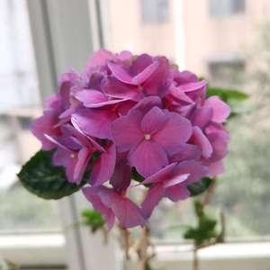 不是无尽夏品种就是傲娇,时隔两年才再次开花