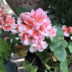 今年开得很美,完全就是太阳的颜色,所以年初又入了一盆粉色的。