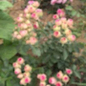 19-10-29到 1600  超感 ( 掉完叶子了有黑斑病)粉色丰花月季 超级多头四季开花阳台盆栽花卉绿植扦插小苗 图二卖家图